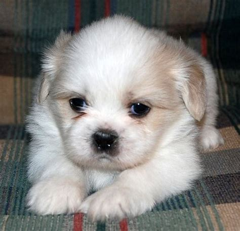 shih tzu information shih tzu pictures puppies information temperament