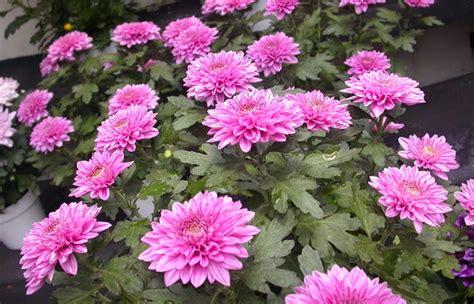 wallpaper bunga krisan rahasia budidaya bunga krisan dan cara merawatnya gambar