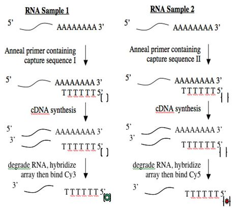 transcriptase synthesizes a dna molecule from an rna template module 2 5 cdna synthesis and microarray labs