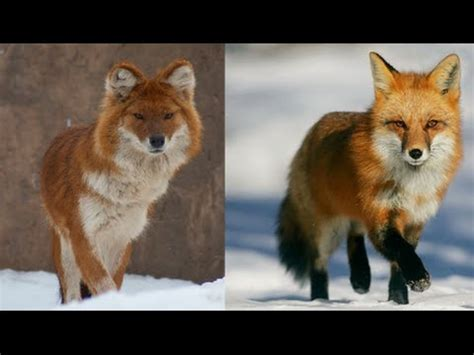 are foxes dogs 11 dogs that looks like a fox