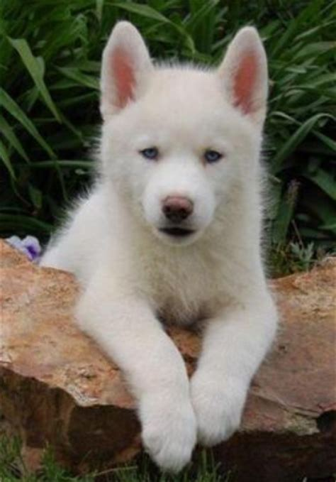 husky puppy cost a beautiful white husky puppy pictures png