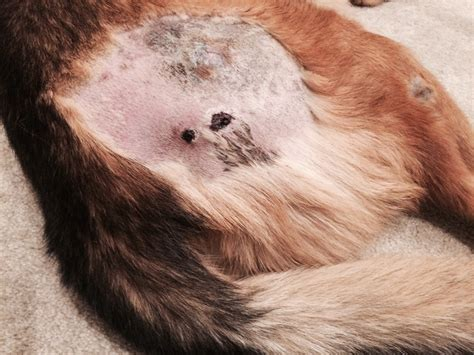 dog bed sores abscess the dangerous complication of pressure sores