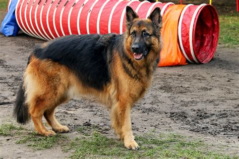 german shepherd professional trainer tips
