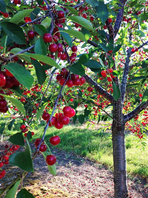 cherry tree michigan s tart cherries so proud water orange blossoms