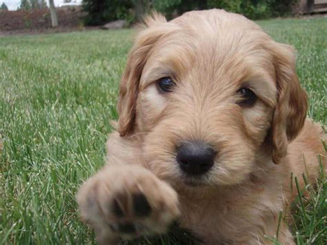 doodle dogs doodle breed 187 information pictures more