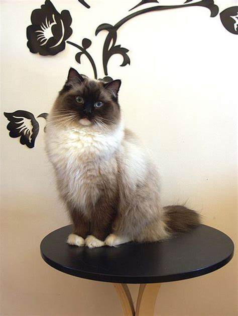 tattoo ragdoll cat ragdoll pictures pics images and photos for inspiration
