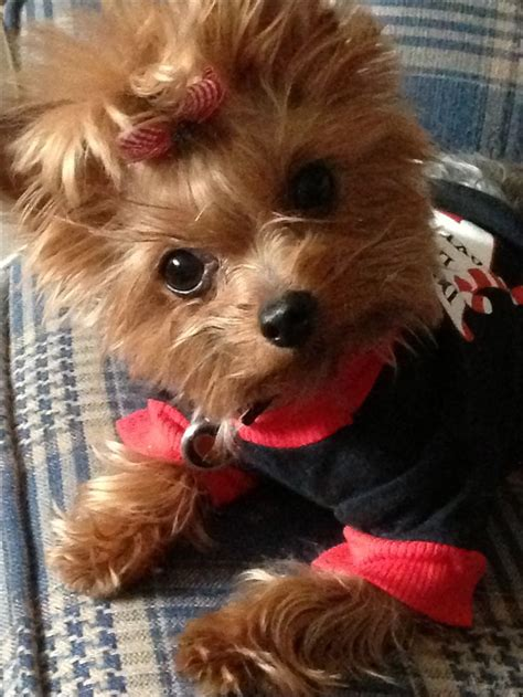 can yorkies eat potatoes 170 best images about yorkies on merry yorkie and princesses