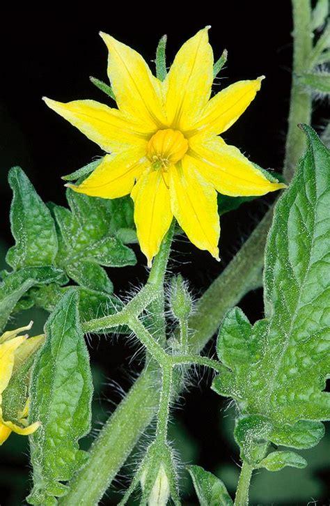 fiori attinomorfi dr giuseppe mazza journalist scientific photographer