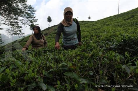 Teh Ekspor konsumsi global meningkat ekspor teh indonesia akhirnya