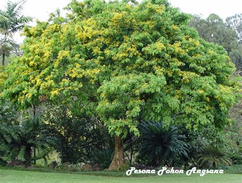 Jual Bibit Tanaman Angsana Kaskus pohon angsana sonokembang layak untuk di budidayakan