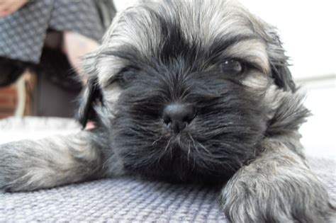 minature shih tzu miniature shih tzu puppies for sale cannock staffordshire pets4homes