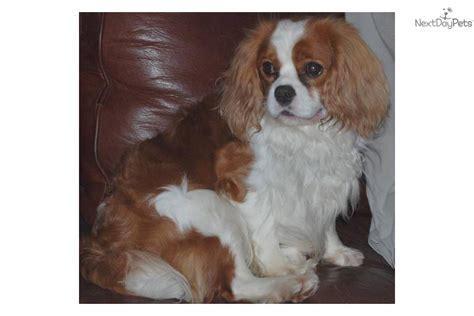 cavalier havanese cavalier king charles spaniel puppy for sale near houston 595d6c47 5721