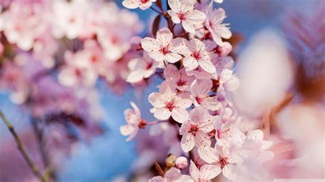 fiore ciliegio ciliegio da fiore piante da giardino coltivare ciliegio
