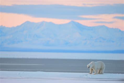 polar and polar photos stock photos of anwr polar bears ursus maritimus