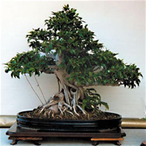 bonsai da interno il ficus classico bonsai da interno riesce a vegetare