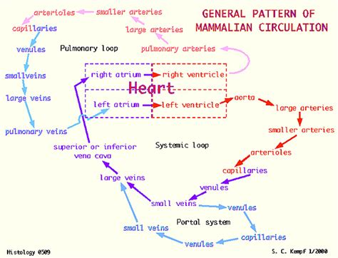 pattern of heart blood flow circulatory system