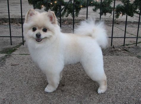 pomeranian haircut styles pomeranian dog haircuts www imgkid com the image kid