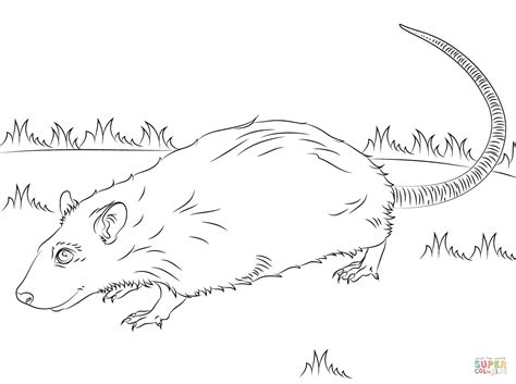 kangaroo rat coloring page cute rat coloring page free printable coloring pages