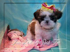 how big does an imperial shih tzu get imperial shih tzu s bring this baby home today call 954 353 7864