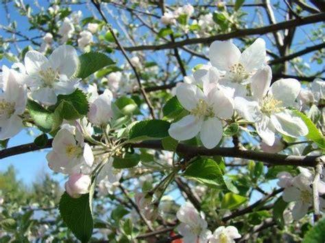 melo in fiore fiori melo fiori delle piante