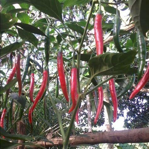Pupuk Bunga Cabai pupuk dasar yang cocok untuk tanaman cabai