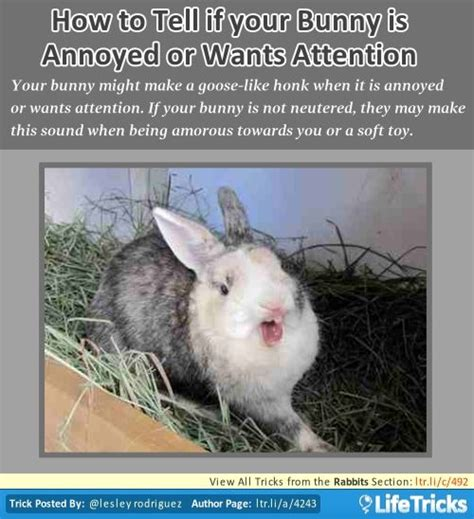8 Tips On Caring For Pet Rabbits by 11 Best Images About Rabbits Tricks Hacks Tips On