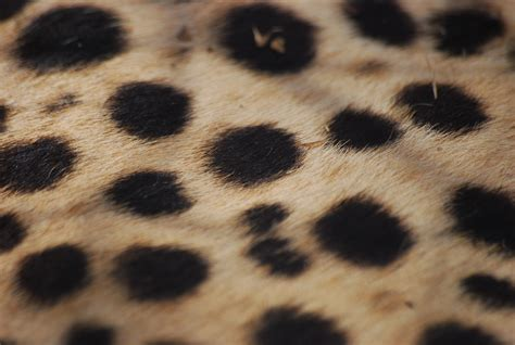 south african cheetah simple english wikipedia the free file cheetah fur jpg wikimedia commons