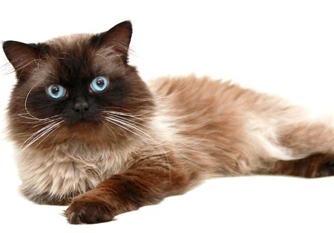 5 Things to Know About Himalayans   Petful