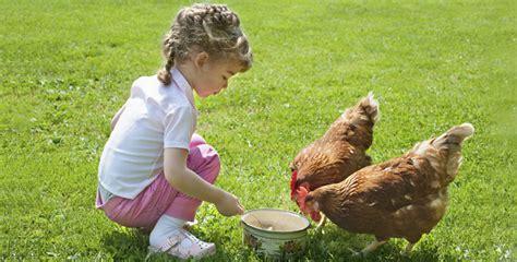 gu a de alimentaci n alimentacion de gallinas navajas alimentaci 243 n gallinas