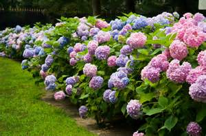 garten hortensie bauernhortensie 187 pflanzen pflegen d 252 ngen und mehr