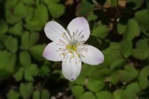 image gallery rue flower