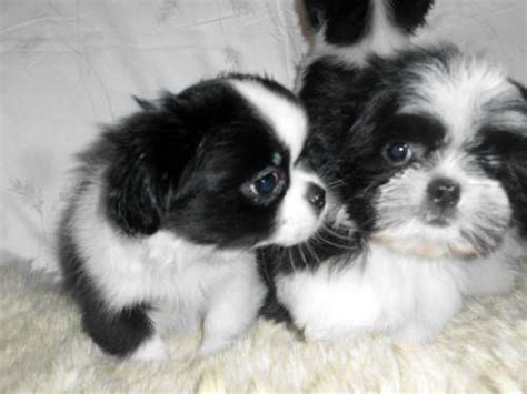 ebay classifieds puppies columbus ga shih tzu dogs puppies for sale ebay classifieds kijiji page 1