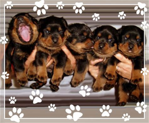 rottweiler puppies missouri rottweiler puppies for adoption in missouri photo