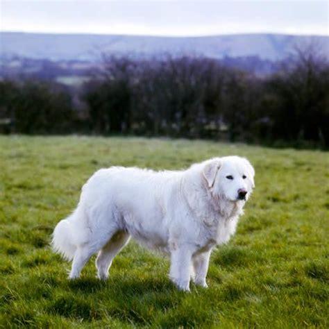 maremma puppy maremma sheepdog