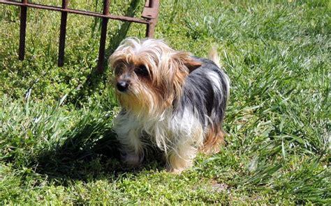 puppyfind yorkie terrier dogs puppies for sale design bild
