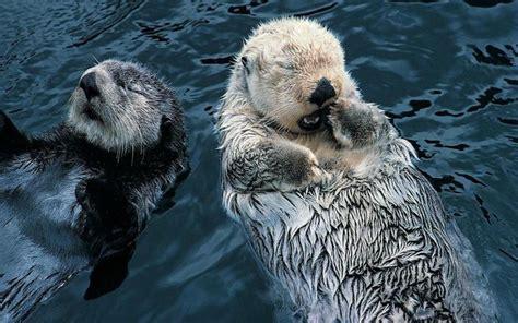 hd sleeping otters wallpaper