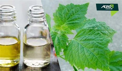 Minyak Nilam Di Eropa tanaman nilam penghasil minyak atsiri dengan nilai jual