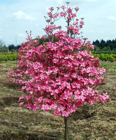 Flowering Dogwood Tree - about us