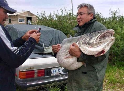 is isaac from the love boat still alive 83 lb lake trout may have been a world record if it was