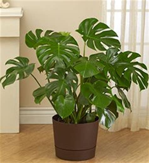 5 big and beautiful indoor plants flower power house plants easy to grow on pinterest house plants