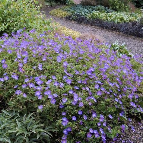 geranium rozanne blue flowering ground cover drought proof