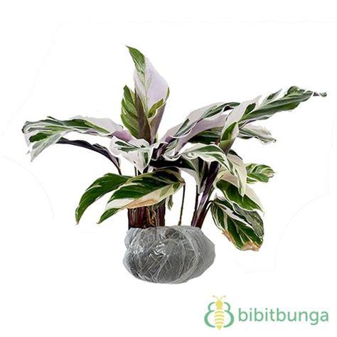 Tanaman Hias Daun Calathea Zebrina tanaman calathea saputangan jual tanaman hias