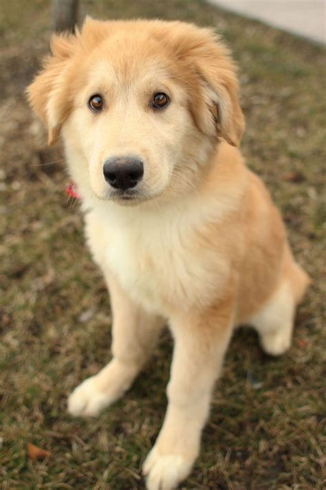 golden retriever puppies mixed breeds 18 breathtaking husky golden retriever mixes