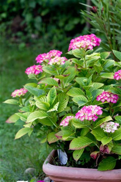 Hortensie Endless Summer Schneiden 4634 by Hortensien Hydrangea Pflanzen Und Pflege