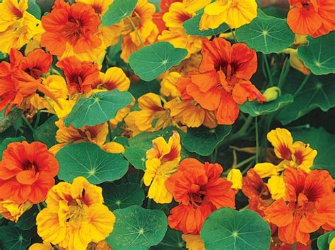 nasturtiums  colorful edible  easy  grow