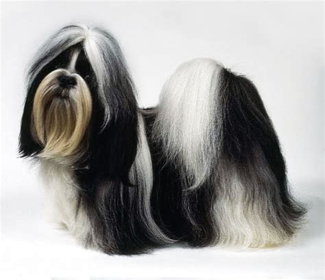 shih tzu big shih tzu dogs pictures dogs breeds and puppies reviews