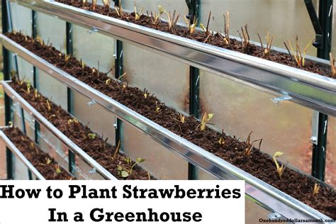 Gutter Strawberry Planter by How To Grow Food In A Greenhouse Planting Strawberries In