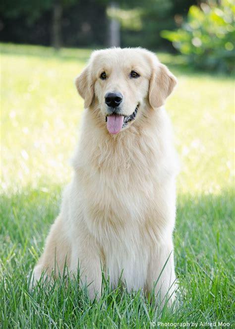 river rock golden retrievers 17 beste idee 235 n grappige honden op grappige hondenplaatjes hond