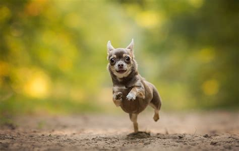 mutt puppy chihuahua running bokeh hd wallpaper