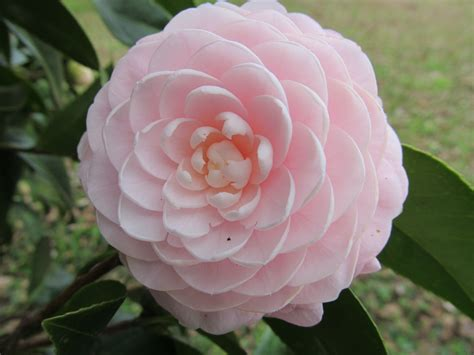 state flowers alabama state flower camellia wedding pinterest
